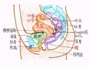 骨盤側面図
