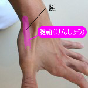 腱鞘の説明