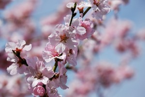 japanese-cherry-trees-3275415_960_720