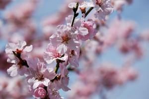 japanese-cherry-trees-3275415_960_720